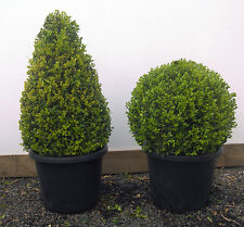 JAPANESE BOX TOPIARY CONES 40cm POT SIZE