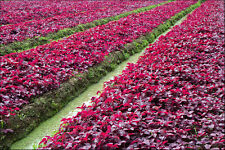 6000 + RED SPINACH  seeds # VS-19 #-Lal Saag-  Vetetable Seeds -