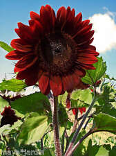 40 Graines de Tournesol Rouge Fleur *Velvet Queen* (Helianthus) Sunflower Seeds