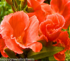 GODETIA GRAND. ORANGE GLORY - CLARKIA AMOENA - Farewell-to-Spring - 2000 seeds