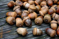 25 Real EXTRA LARGE GIANT Acorns w/Caps DIY Crafts Christmas Fall Holiday Decor