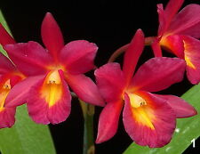 Orchid Cattleya Ctna Why Not Exotic Tropical Plant