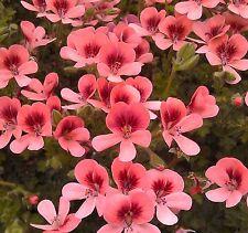 Pack x 6 Scented Pelargonium Geranium Angel Eyes® Orange Plug Plants