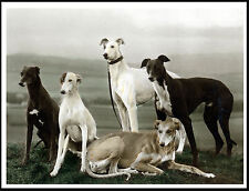 GREYHOUND GROUP OF DOGS LOVELY IMAGE ON DOG PRINT POSTER