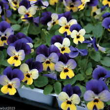 5000 Johnny Jump Up Seeds, (Viola Tricolor) beds,borders woodland, shaded area