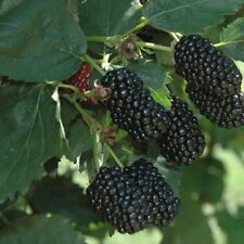 2 Natchez Thornless Blackberry Plants / 1-2 Year Organic - Early Spring Shipping