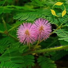 SENSITIVE PLANT Mimosa Pudica - 50+ SEEDS