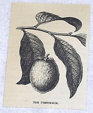 1878 small magazine engraving ~ THE PERSIMMON ~ picture of leaves and fruit