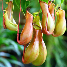 10Pcs New Seeds Pitcher Plant Purpurea Foliage Carnivorous Shades Flower Garden