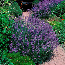 400pcs Lavender English Seeds Organic, Untreated Herb Seeds Garden Deocr purple