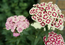 Heirloom 400 Seeds Dianthus Barbatus Carnation Sweet Willieet William Double Mix