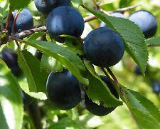 SCHLEHDORN 20 Samen Prunus Spinosa Schlehe  Deutsche Akazie