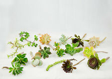Free Shipping 10 Mix Succulent Cuttings - Assorted Varieties  #  9359_1