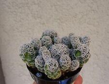 Thimble Cactus Cluster-Mammillaria Gracilis Fragilis
