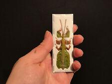 Entomologie Superbe Phasme Feuille Male Phyllium bioculatum pulchrifolium A1!!