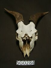 Goat skull broke nose hill country outdoors SG0284