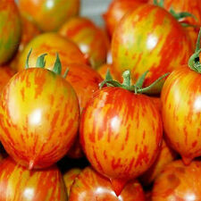 Red Colorful Peach Tomato Seed 20 Seed Lycopersicon Esculentum Fruit Garden C102