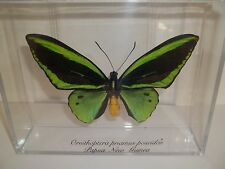 Real Green Butterfly Ornithoptera Priamus Poseidon  From Papau, New Guinea Nice