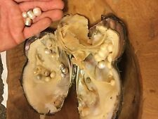 1 GIANT,HUGE,MONSTER OYSTER WITH PEARLS& 1 TWIN OYSTER WITH ROUND PEARLS 6-7MM