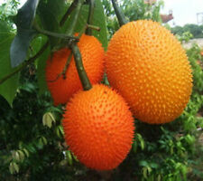 15 Fresh Seeds GAC FRUIT, Momordica cochinchinensis Seeds
