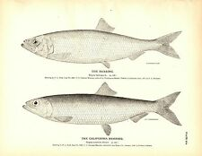 Rare 1884 Antique Fish Print ~ The Herring Collection ~ Lot of 8 prints