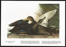 1930's Old Vintage Audubon Limited Ed. Black Duck Bird Art Print