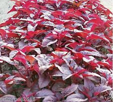 "Red Spinach "" Arun "" Variety , high yield & tasty Amaranthus-  5g -1200+Seeds"