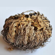 Rose Of Jericho (1) Resurrection Plant Dinosaur Plant Spike Moss Air Fern