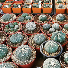 Cactus House, RARE Seed, Real Fresh Cactus Seed, Astrophytum Seed Mix, 30-SEEDS