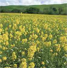 Green Manure Seeds - White Mustard seed - 400gms
