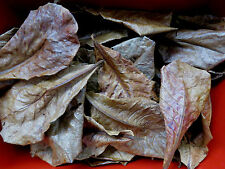 50 pcs BEST Catappa Ketapang Indian Almond Leaves Shrimp Betta Discus Below 5''