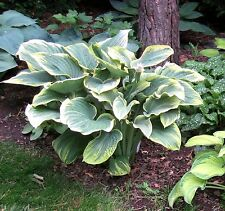Large hosta Sagae seeds - 30 seeds