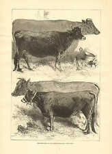 Prize Cows by Harrison Weir, Dairy Show Agriculture Hall 1876 Antique Art Print.