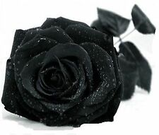 Beautiful Black Rose Flower Seeds  100 SEEDS