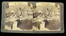 Underwood & Underwood Stereoview Card - Olive Trees in Garden of Gethsemane