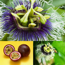10PCS SEEDS Passion Fruit Purple Passiflora Edulis Vegetables Cooking Salad