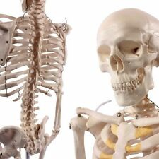 Human Skeleton Model, 1/2 life size, 85cm (33.5 inches)