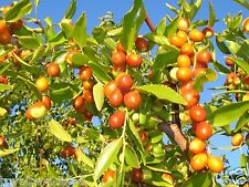 20 Seeds Ziziphus Mauritiana (Indian Jujube),Ber,Chinese Apple,Indian plum,Masau