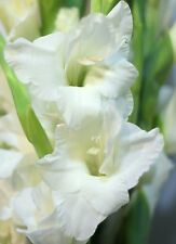 "(5) Perennials "" Gladious White Prosperity Mix""  New Flower Bulbs Ready to Ship"