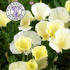 Rare Eschscholzia californica, White California poppy,  flower - 20 seeds - UK