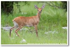 Steenbok Female in Etosha National Park Namibia - NEW Animal Wildlife POSTER