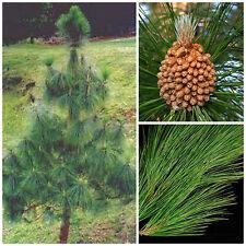 50 semi di Pinus roxburghii, pino dell'Himalaya, semi bonsai