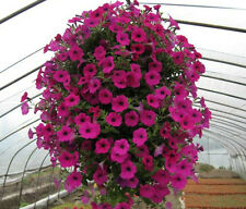 PETUNIA HYBHID MIXED FLOWER SEEDS - Pack of 50 Seeds.