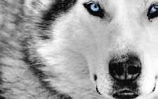 Framed Print - Black & White Siberian Husky with Blue Eyes(Picture Poster Animal