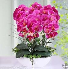 Orchid Rare Bonsai Flower Phalaenopsis seeds- 10Pcs Decorative Colorful Flower