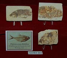 Fossil Fish DIPLOMYSTUS 50 Million Year Old 3 Plaques+Stands+ID Card Lot#161