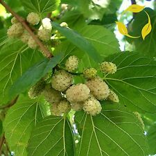 WHITE MULBERRY Morus Alba - 100+ SEEDS