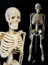 menschliches Modell-Skelett Lehrmodell ANATOMIE *85cm* Studium Knochen NEU