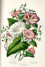 1899= CONVOLVULACEE= Piante = Antica Stampa CROMOLITOGRAFIA by A.Pratt