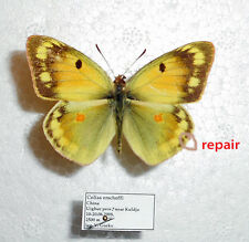 COLIAS ERSCHOFFI *male* CHINA